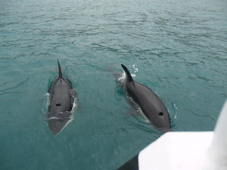 De orka's tijdens de dolphin watch Akaroa