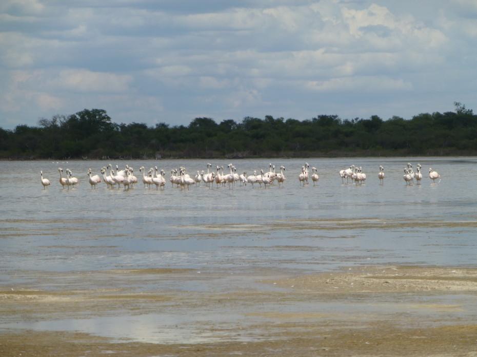 Oog in oog met luie Chileense flamingo's