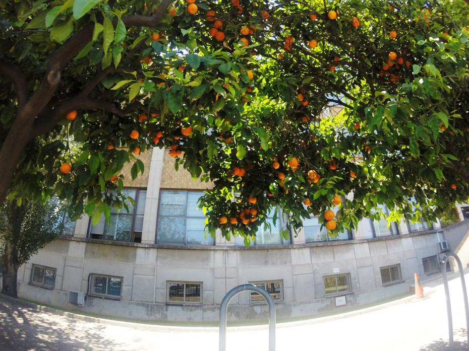 Sinaasappels hangen in de bomen in Valencia