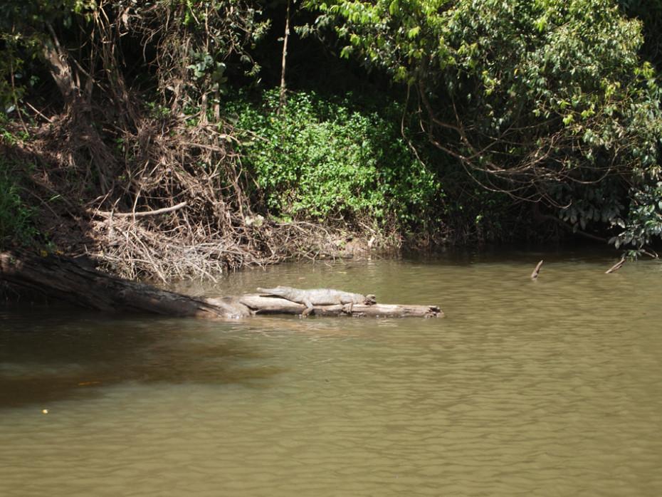 Krokodil gespot