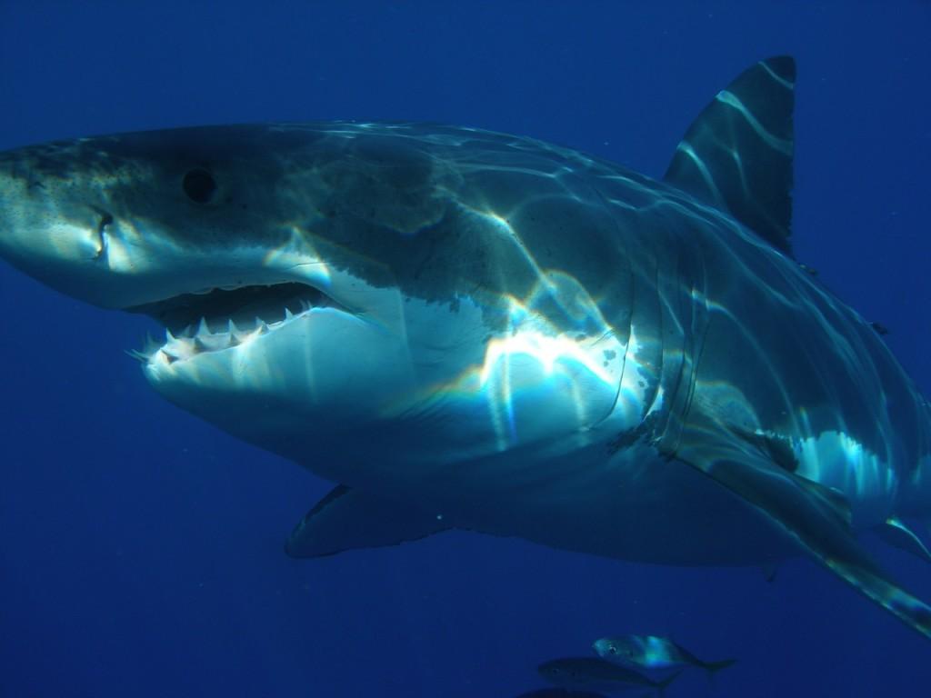 Omsingeld door haaien in Zuid-Afrika