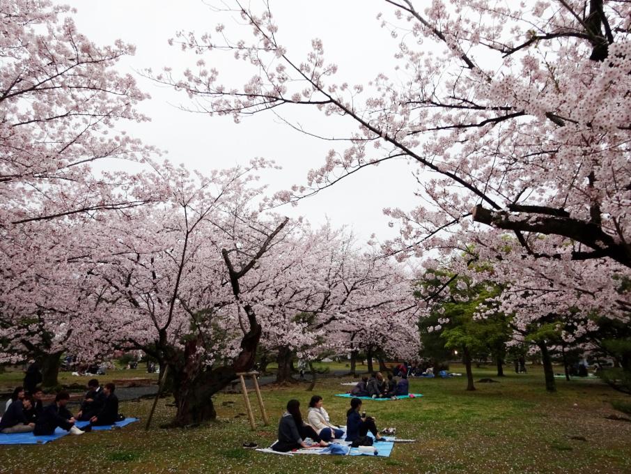 Kersenbloesemtijd in Japan