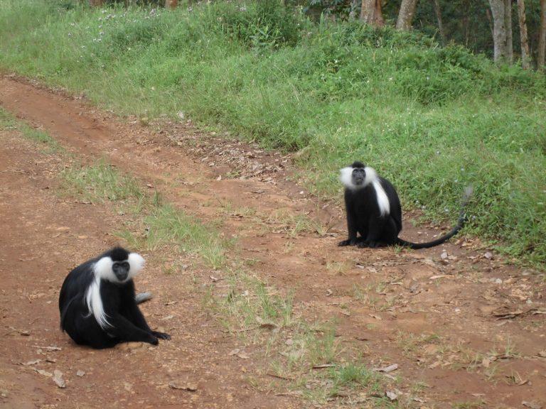 Close moment met Colobusapen in Rwanda
