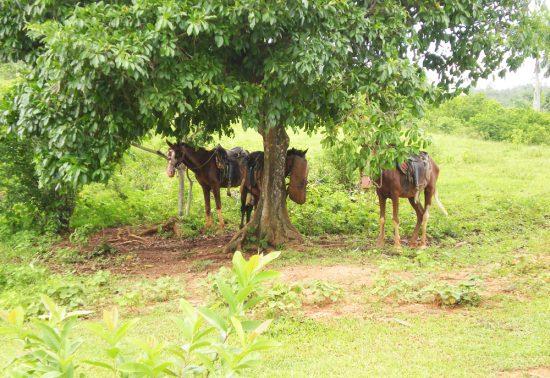 Paardrijden in Cuba - Vallei van Viñales