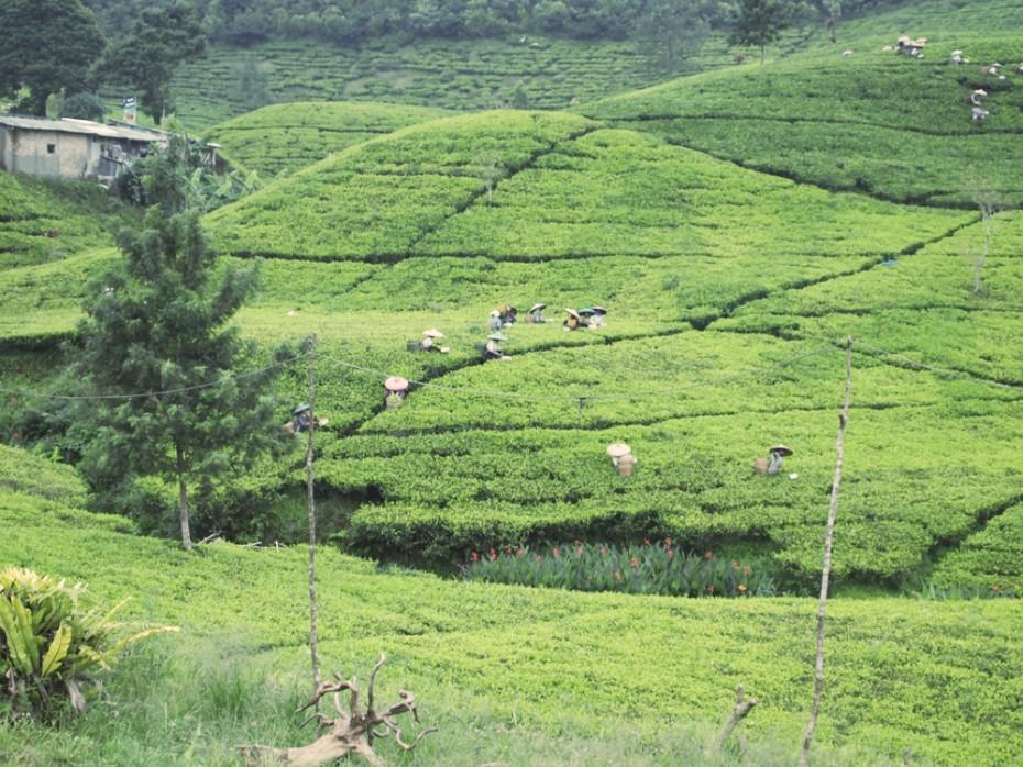 Tijdens het reizen kwamen we meerdere keren prachtige plantages tegen!