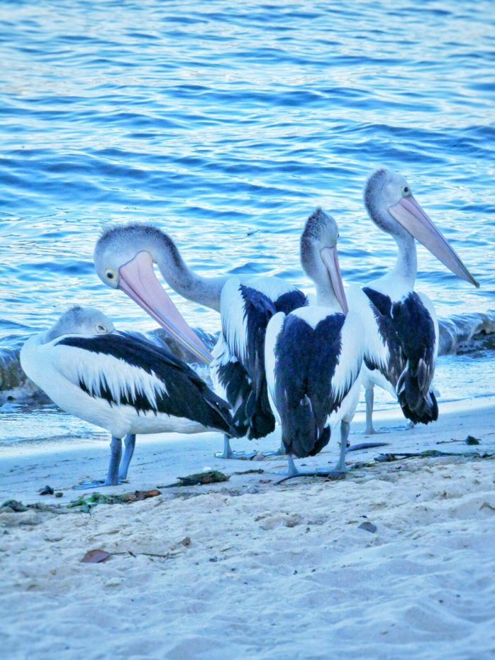 Pelikanen in de Lagoon van Cairns