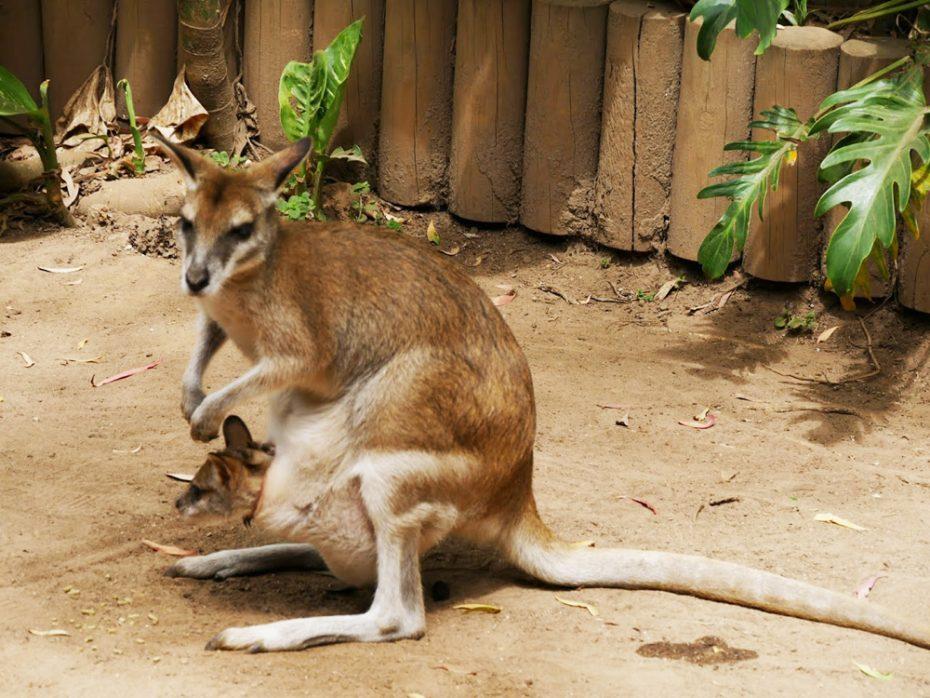 kangoeroe-met-joey
