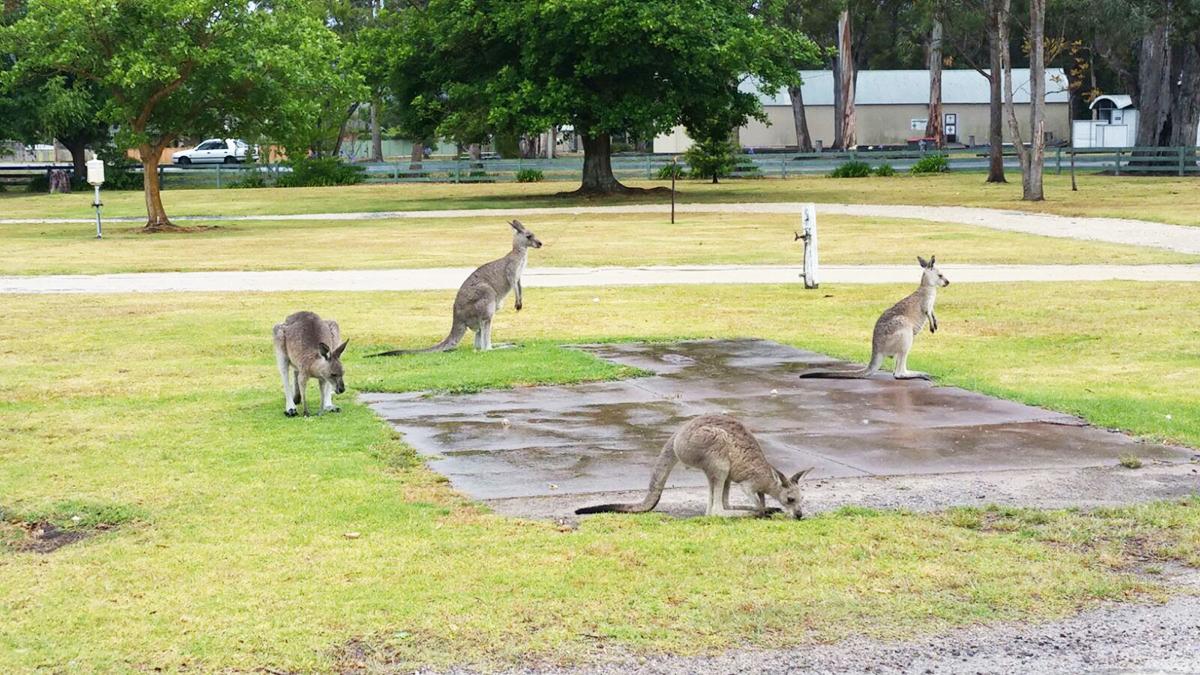 Er zijn veel plekken waar je wilde kangoeroes kunt spotten!