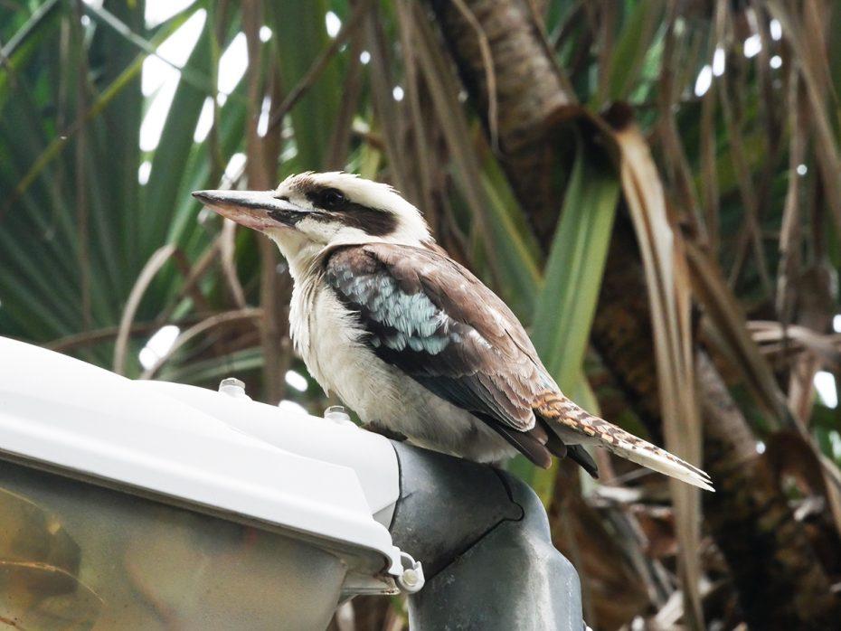Kookaburra / lachvogel  - grootste ijsvogelsoort! - Oostkust Australië