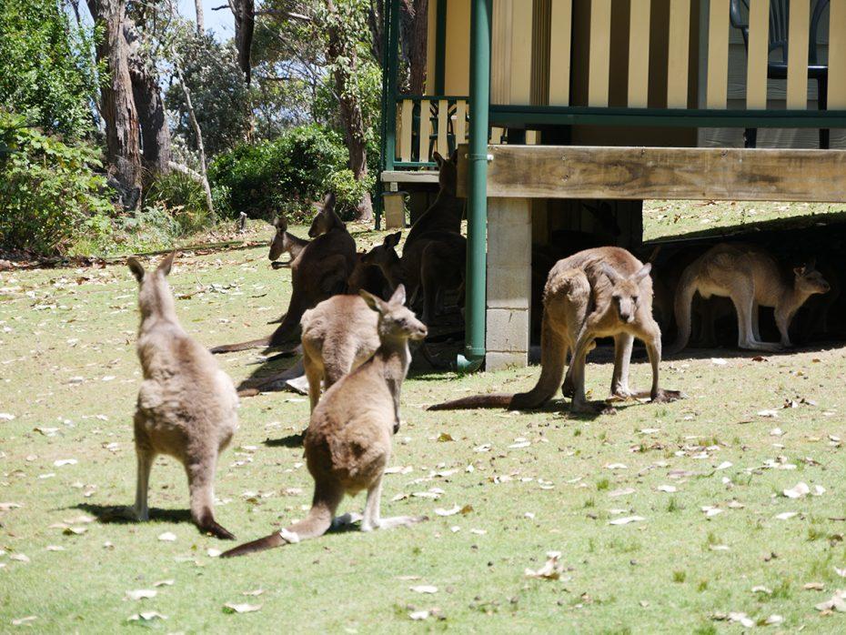 Kangoeroes bij Pebbly Beach houden siesta! - Oostkust Australië