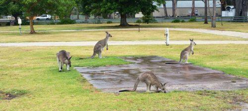 Slapen tussen de kangoeroes in Eden!