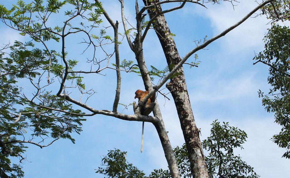 Neusaap gespot in het Bako National Park