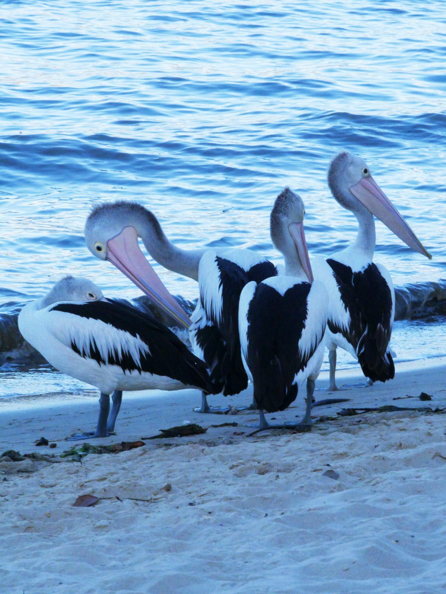 Pelikanen gespot bij de boulevard van Cairns!