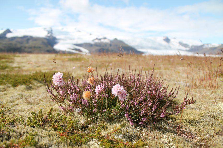 Op IJsland maakte ik een prachtige foto van een bloem met gletsjers op de achtergrond, die foto blijf ik zo mooi vinden. Ik heb er wel even voor op de grond moeten liggen maar de kleuren zijn mooi en het is echt typisch IJsland.
