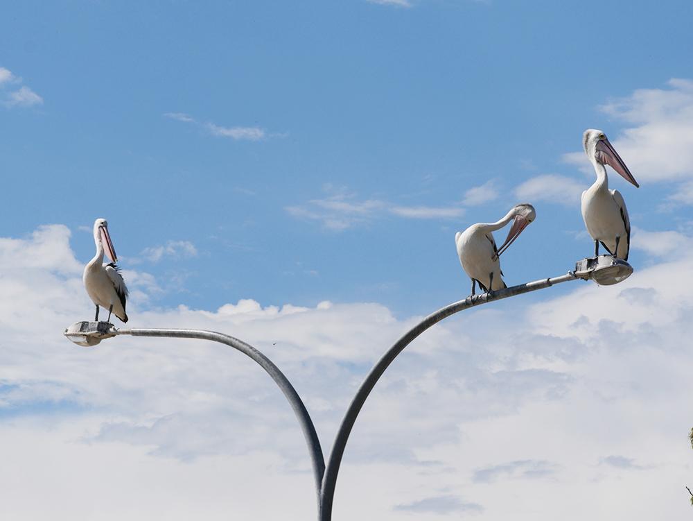 Veel pelikanen in Nelson Bay