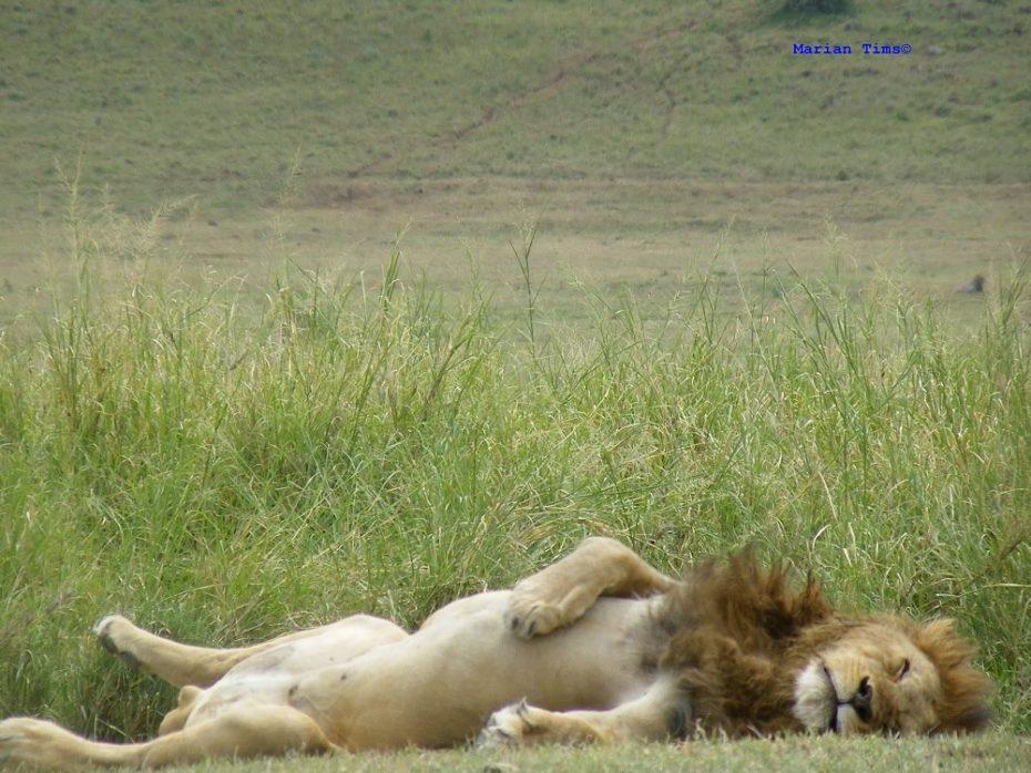 Leeuw ligt lekker in het zonnetje