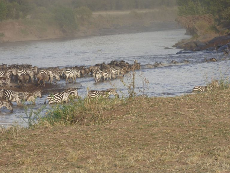 Migratie van de zebra's en gnoes