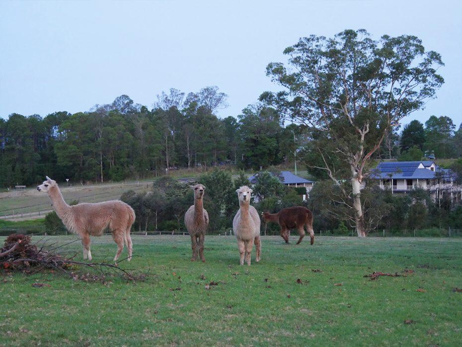 Alpaca's in de tuin in Eumundi