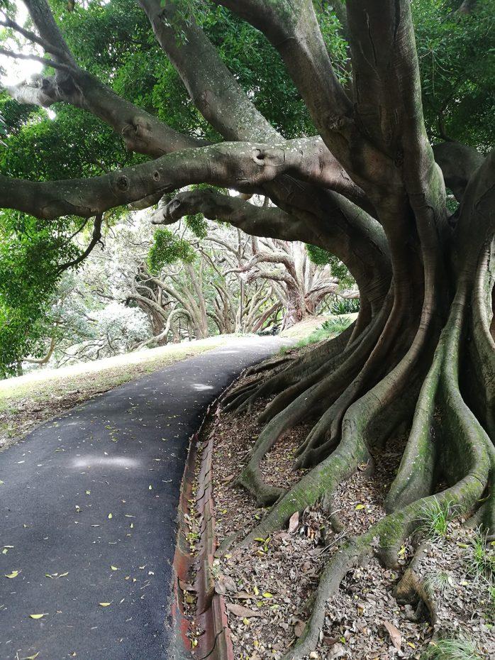 Bijzonder mooie bomen bij Auckland Domain
