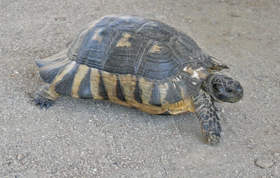 Schildpad gespot!