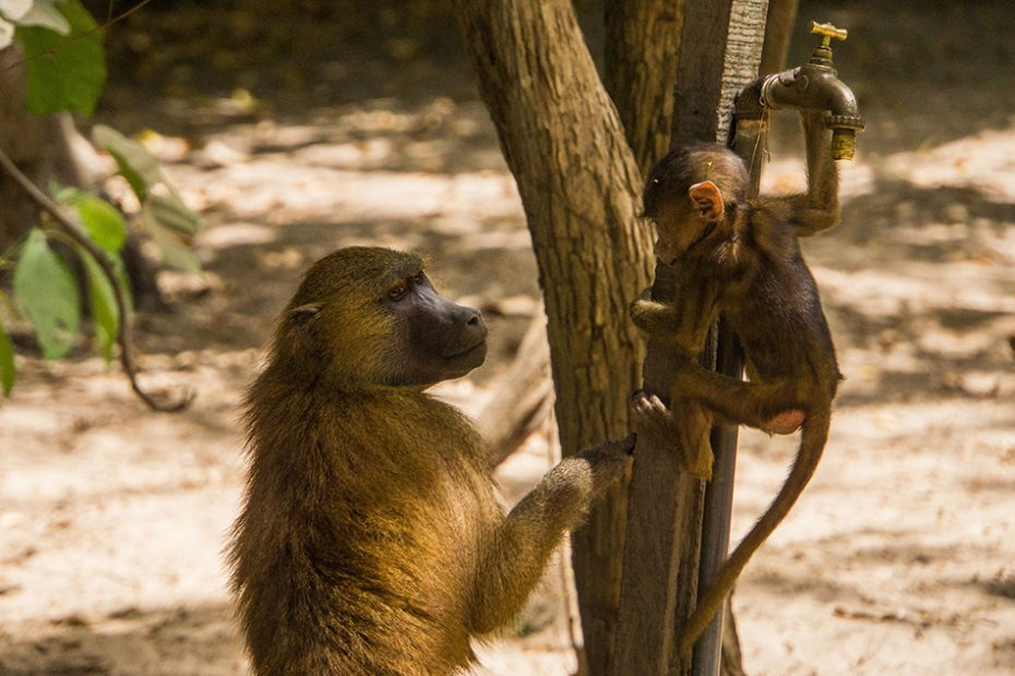 Apen in het Makasutu National Park