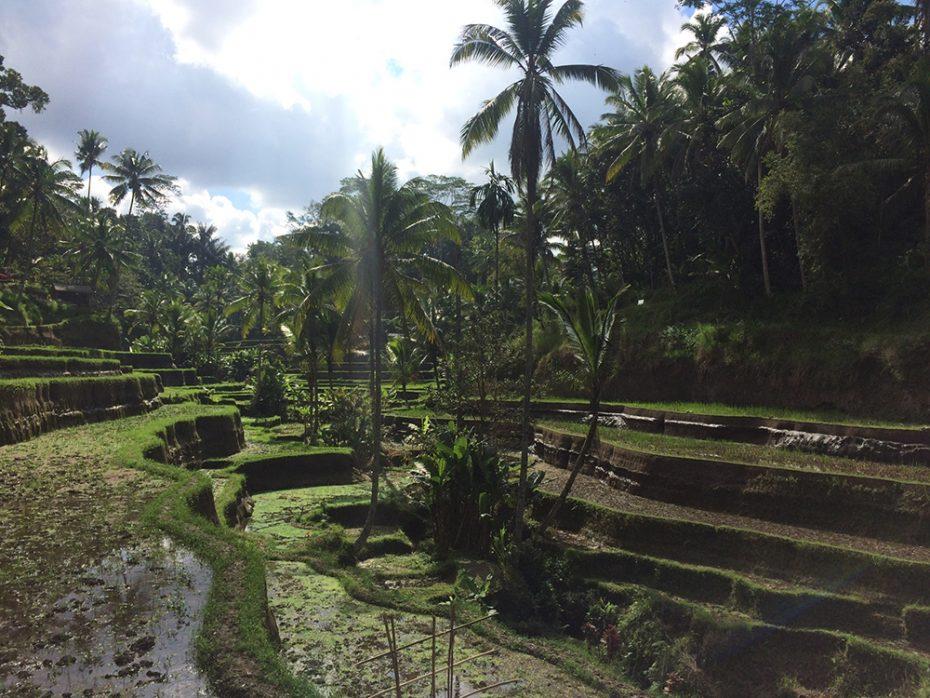 Tagagalang rijstvelden