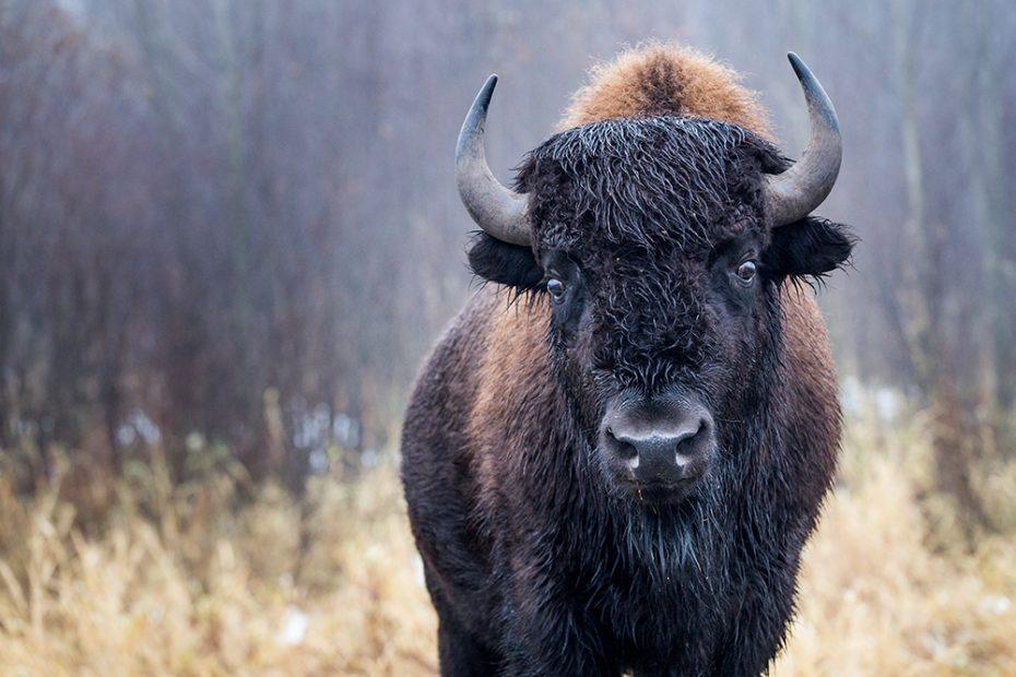 Sta oog in oog met bizons in het Elk Island National Park