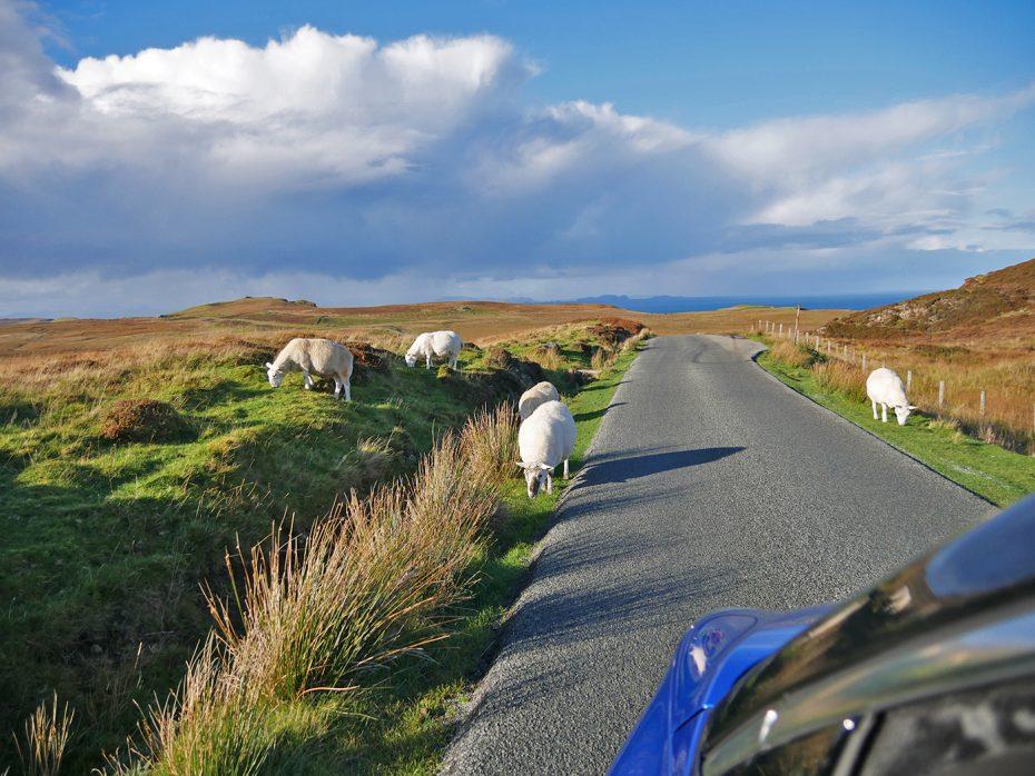 Overstekende schapen