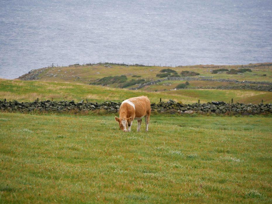 Ons uitzicht op de kust en de Schotse koeien