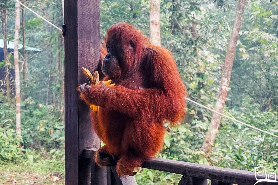 Orang Oetan, Maleisisch Borneo