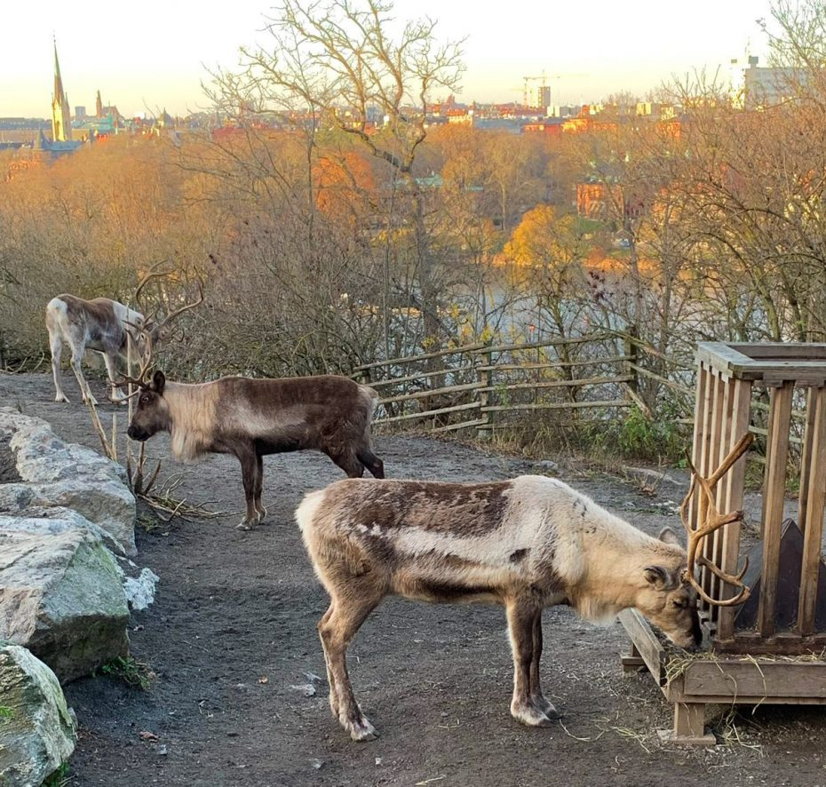 Rendieren in openluchtmuseum Skansen, Stockholm