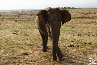 Udawalawe National Park: Dé plek in Sri Lanka om wilde olifanten te spotten!