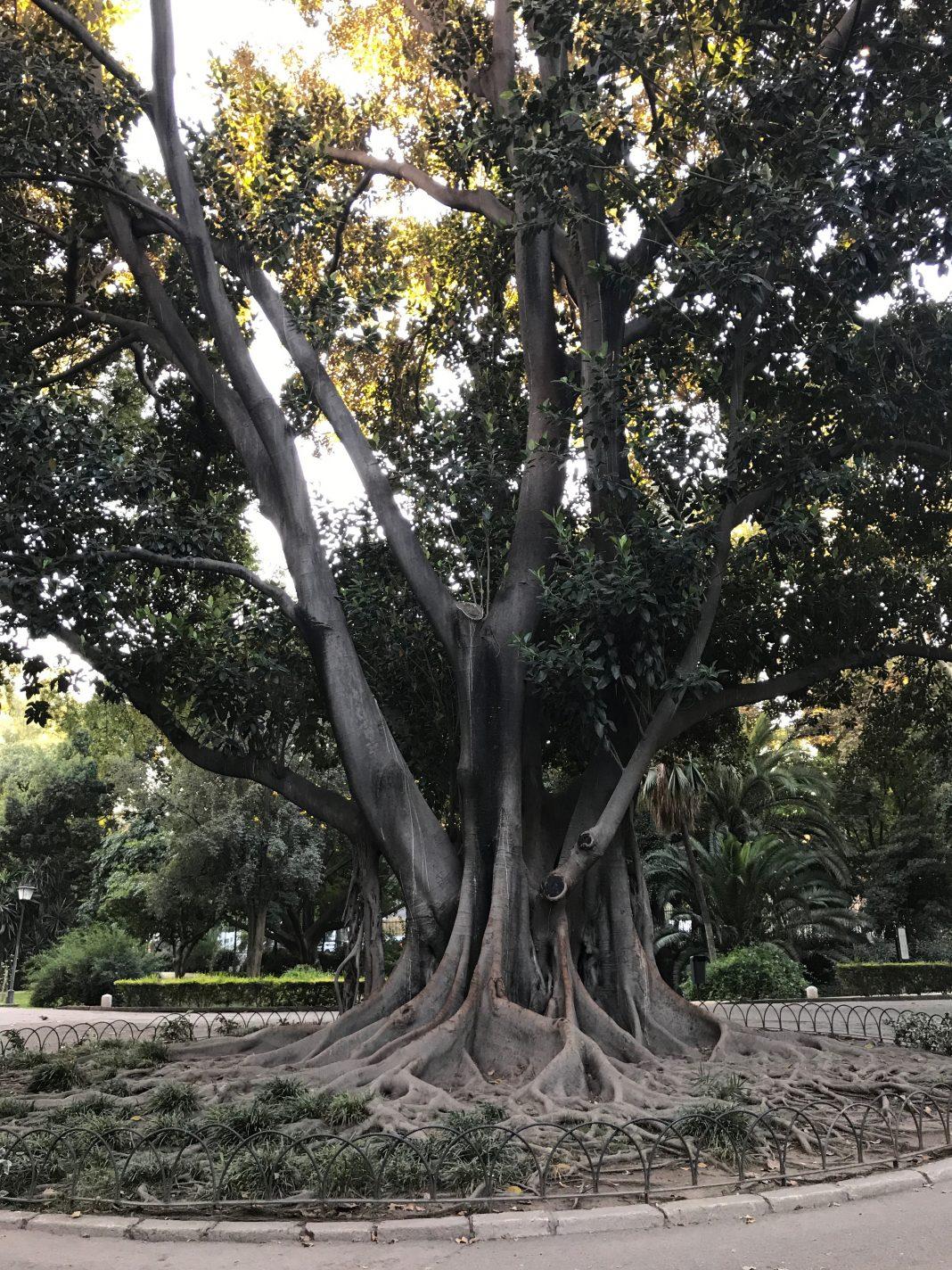 Bijzondere boom in Park Maria Luisa