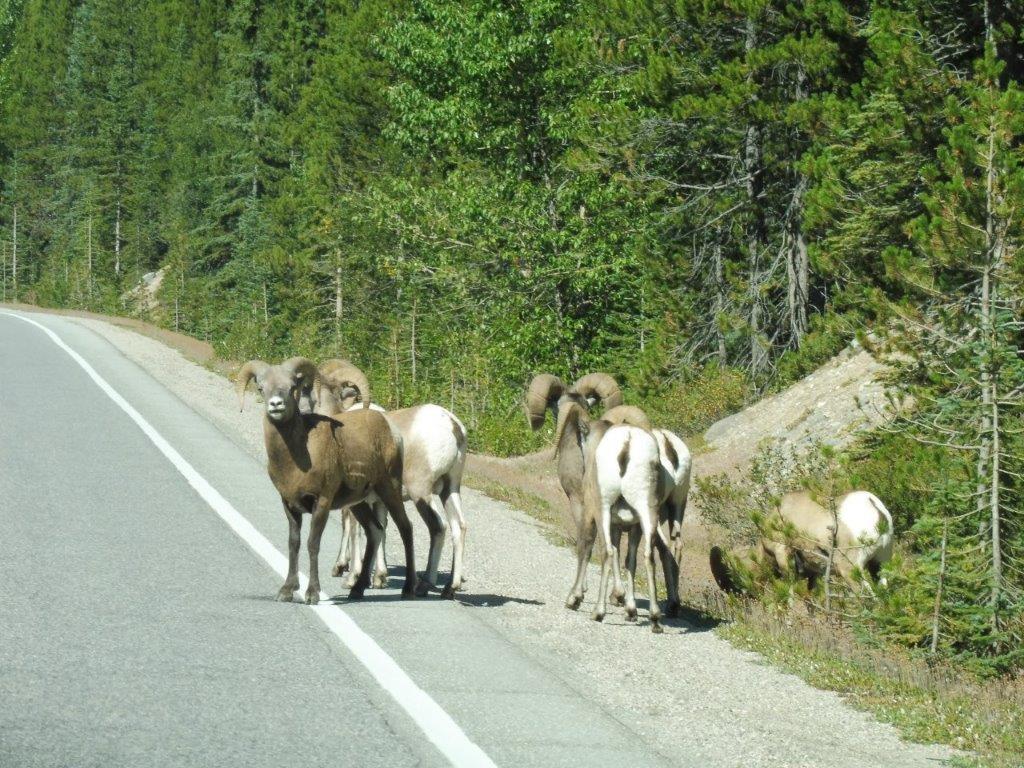 Onderweg kwamen wij veel Bighorn Sheeps tegen