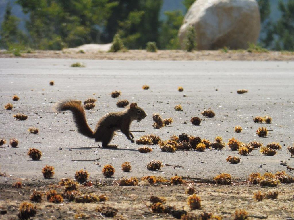In Canada zie je veel eekhoorns