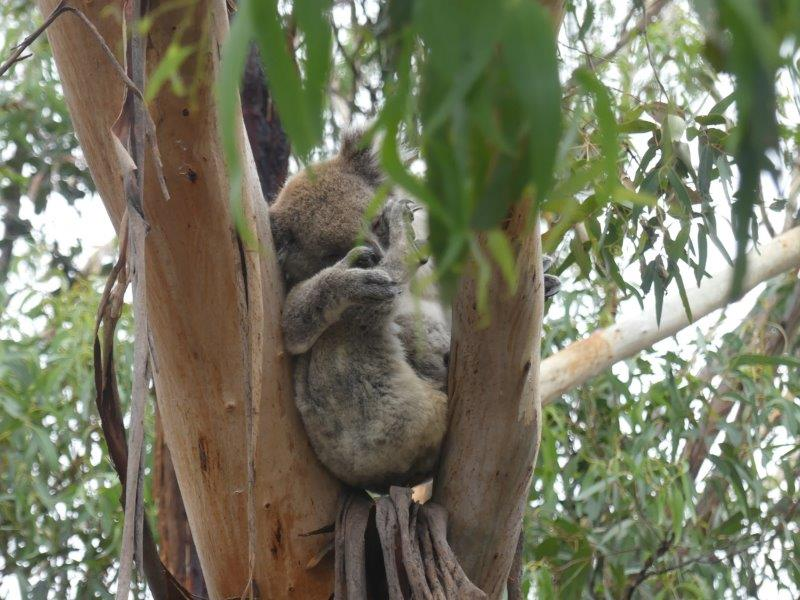 Koala gespot tijdens the Great Ocean Road!