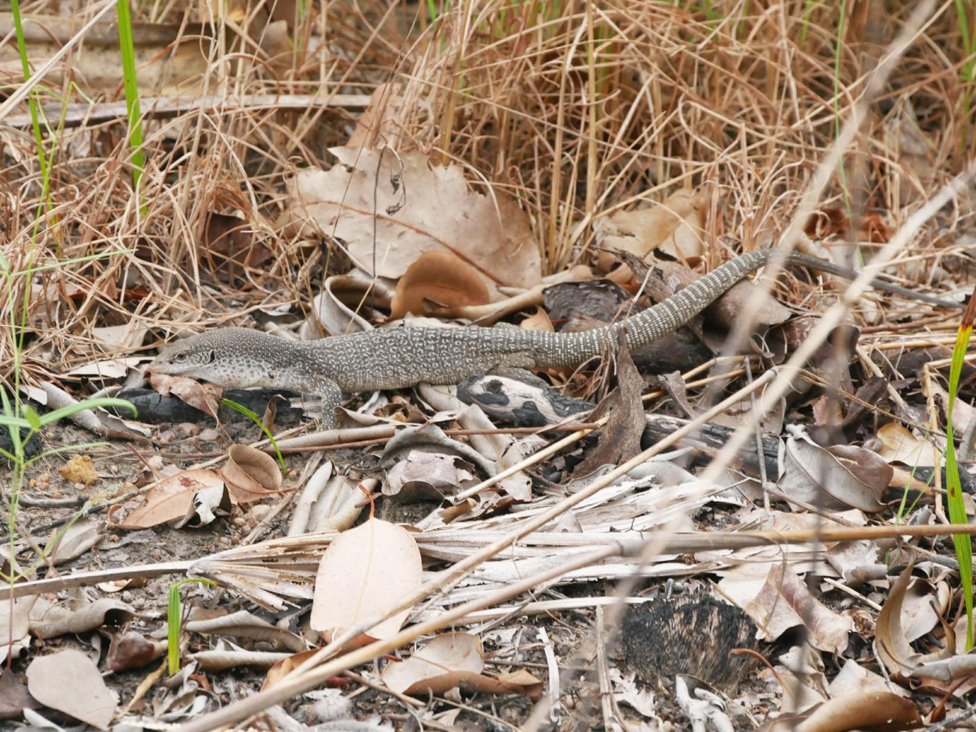 Varaan gespot in het Litchfield National Park