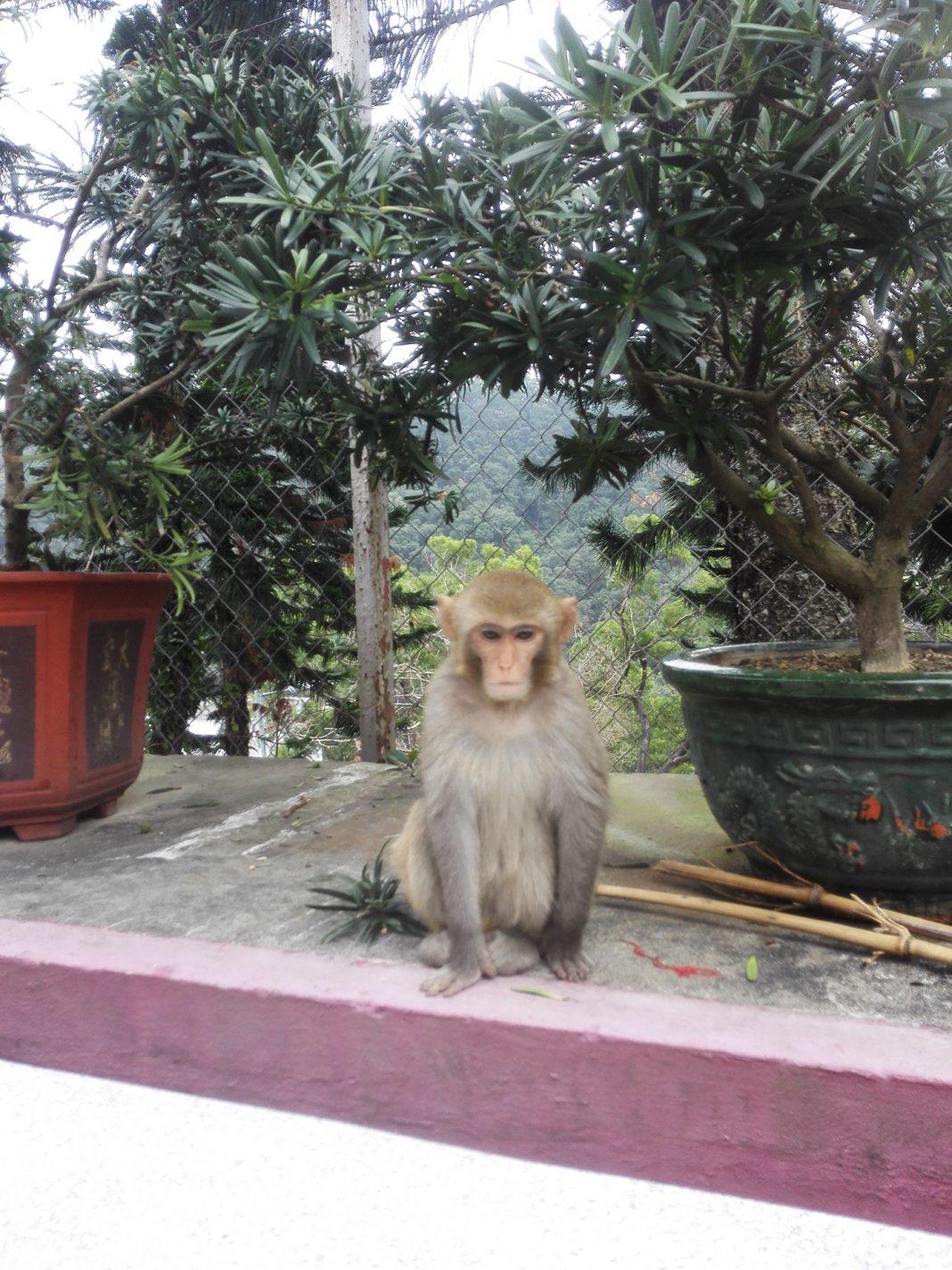 Aap gespot op het hoofdplein vlakbij het klooster - HongKong