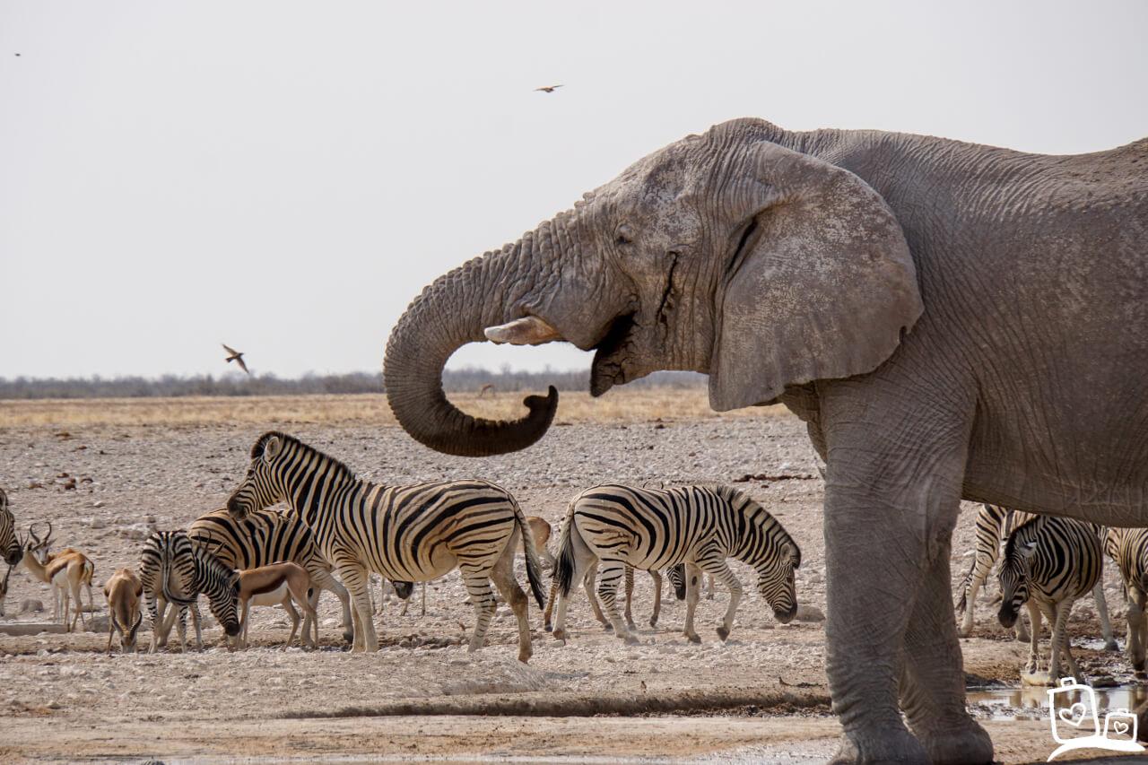 Olifanten en zebra's in Namibië