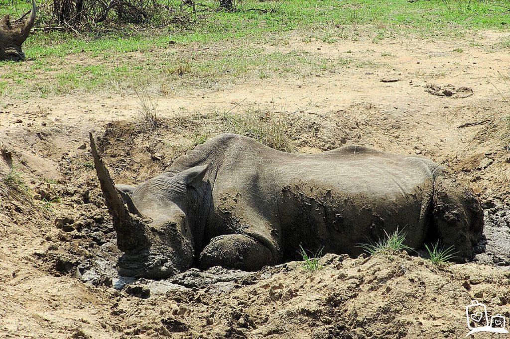 Neushoorn in Hluwluwe-Umfolozi National Park - rondreis Zuid-Afrika