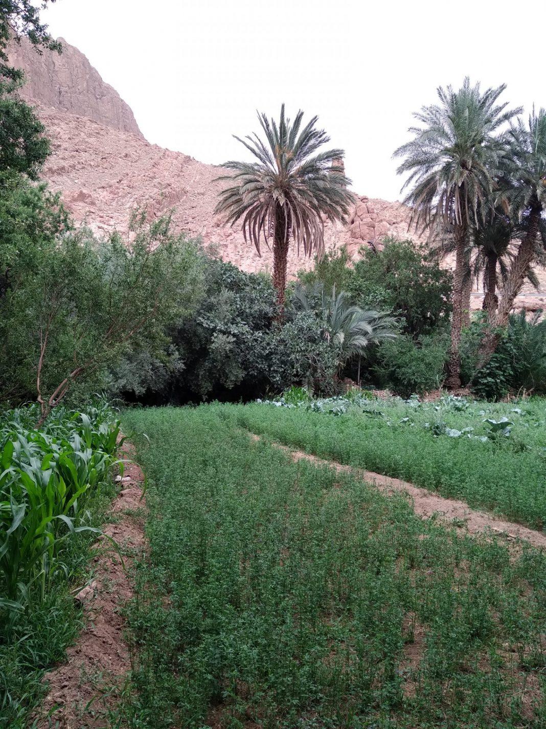 De gewassen  - Dadès Kloof in Marokko