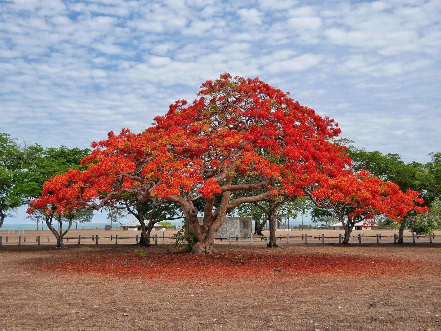In november staan de bomen in bloei in Darwin - Wet season komt eraan
