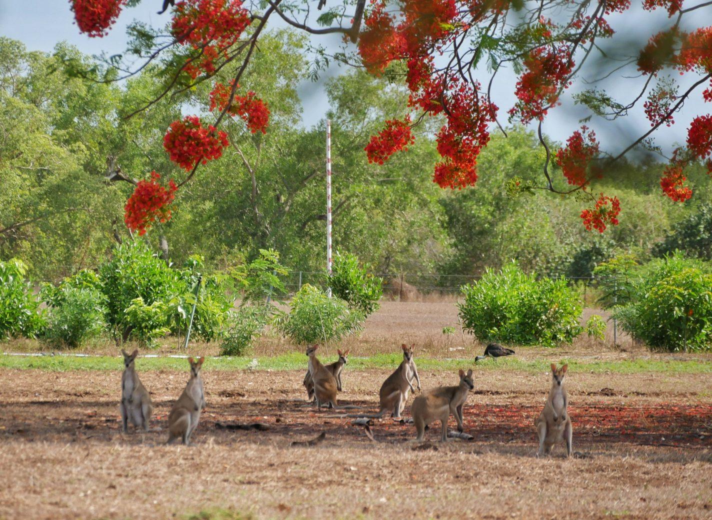 Groep wallabies gespot bij East Point Reserve