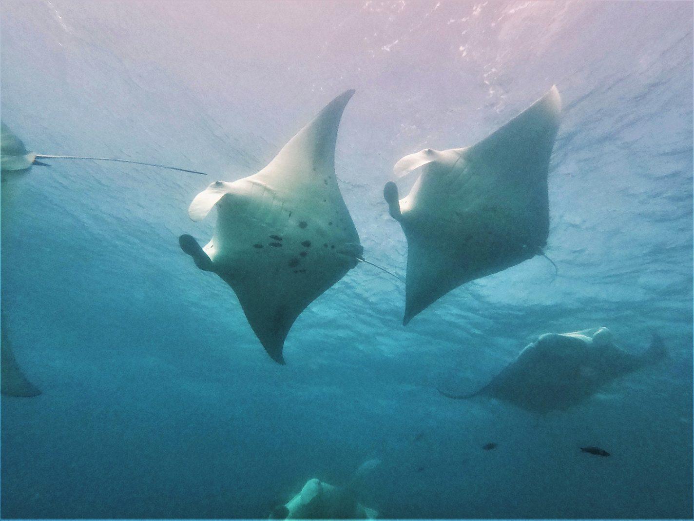 Manta's tijdens het duiken - Manta's boven ons hoofd