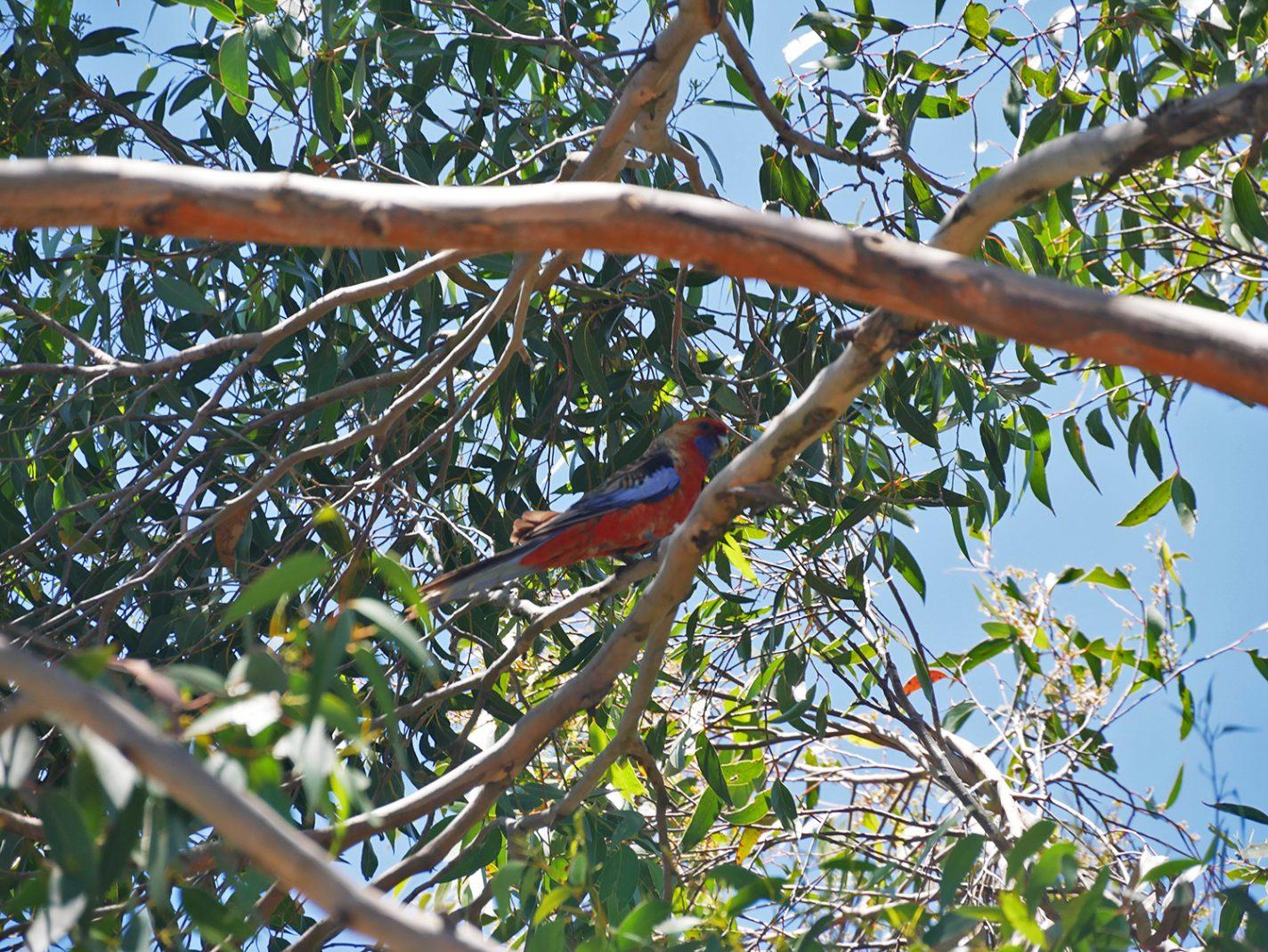 Papagaai in de bomen