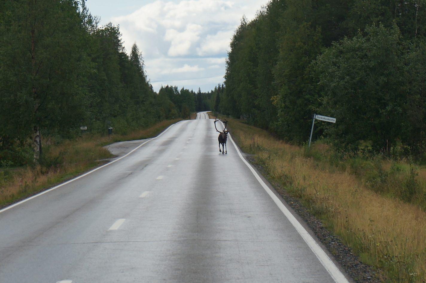 Rendier op de weg - Scandinavië boven de poolcirkel