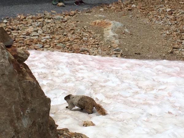 Marmot gespot! - de mooiste hikes in Whistler
