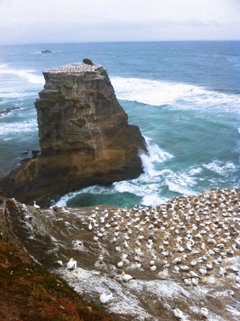 Honderden vogels bij Muriwai Beach - Mooiste dagtrips vanuit Auckland