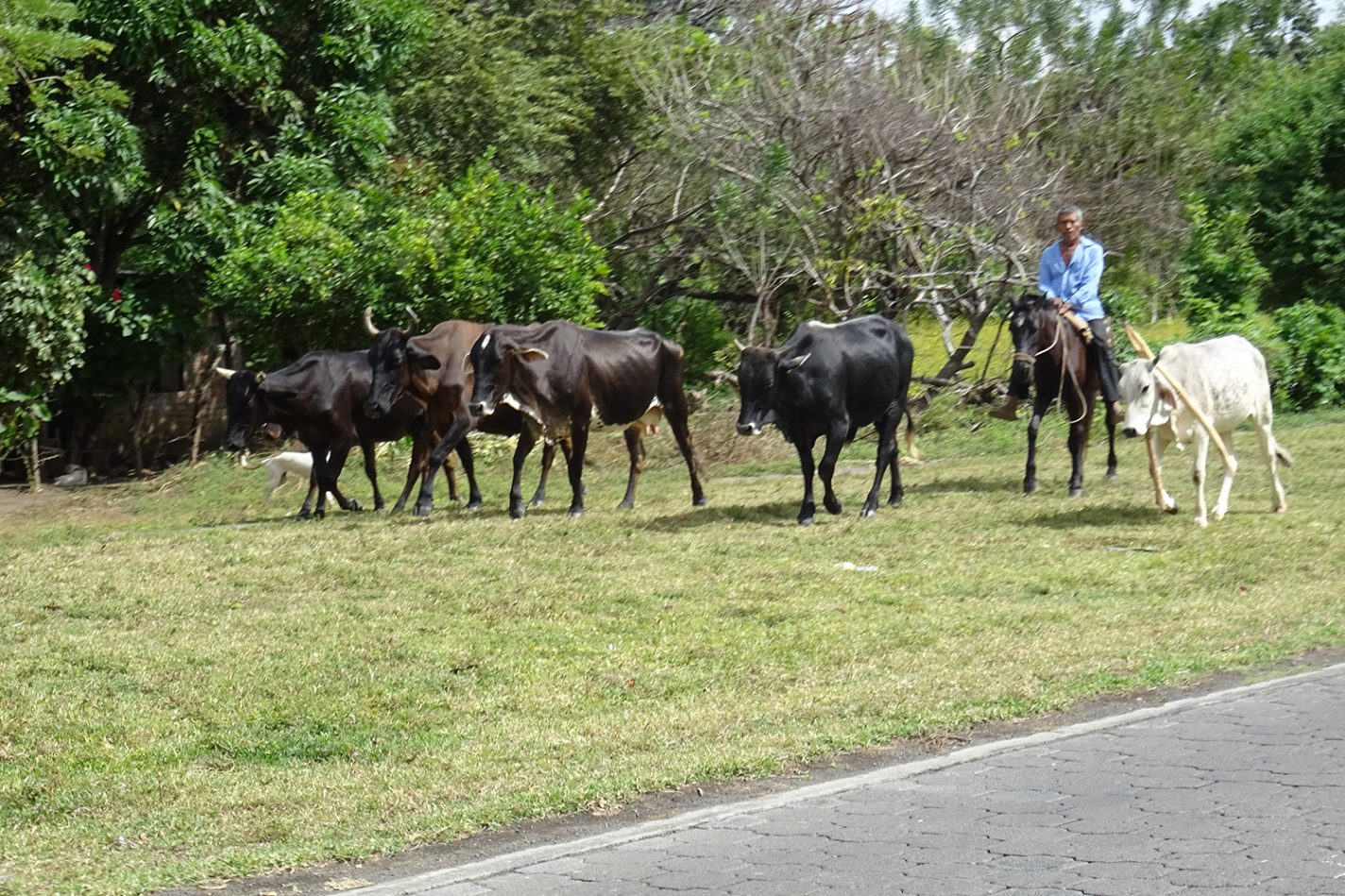 Loslopende koeien op Isla Ometepe