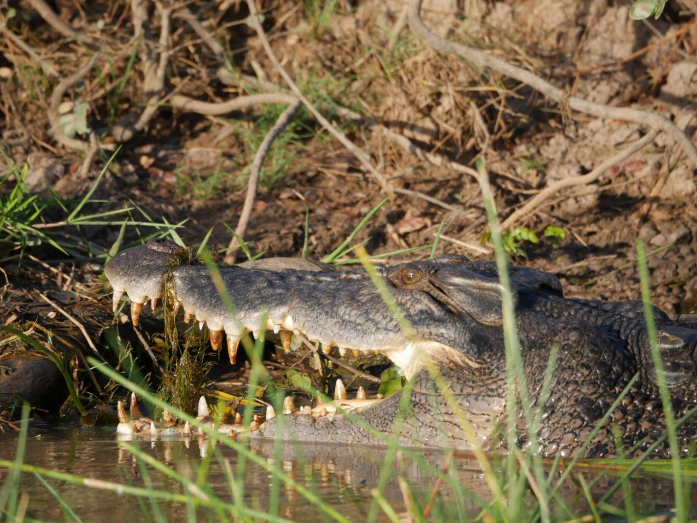 Enorme bek van een krokodil